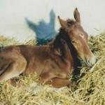 Wang - pierwszy źrebak urodzony w naszej stajni - 2002 r.